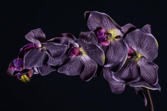 Violet orchid flower on black background close up..