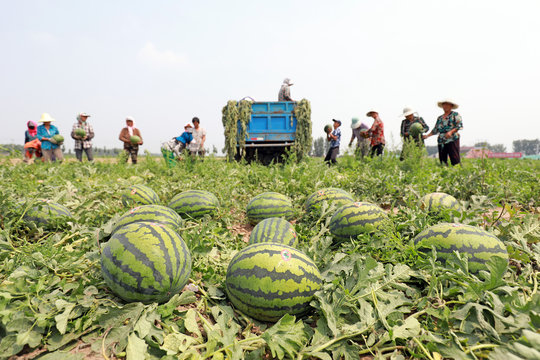 Farmers are harvesting watermelons on a farm, Luannan County, Hebei Province, China.