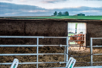 Wall Mural - Kühe im Stall