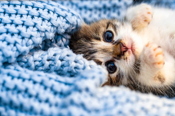 Cute tabby kitten relaxing on blue blanket, with blue eyes wide open looking at the camera. Close up.