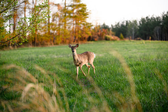 Beautiful Nature Photo of Whitetail Doe Deer Standing in Lush Field of Green Grass and Flowers Looking at Camera Shot Through Orange Wheat at Sunset in Summer