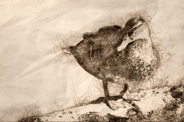 Wall Mural - Sketch of a Mallard Duck Resting on the Old Weathered Log