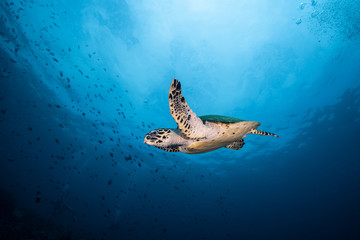 Foto op Canvas Schildpad Hawksbill Turtle