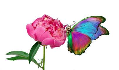 Beautiful colorful morpho butterfly on a flower on a white background. copy spaces. pink peony...