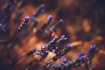 Foto auf Leinwand Schmetterlinge im Grunge Beautiful lavender flowers