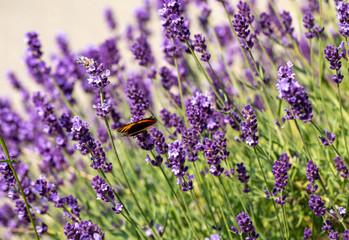 Fototapeta  the blooming lavender flowers in Provence, near Sault, France