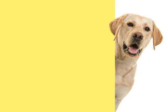 Portrait of a blond labrador retriever dog looking around the corner of an yellow empty board with space for copy