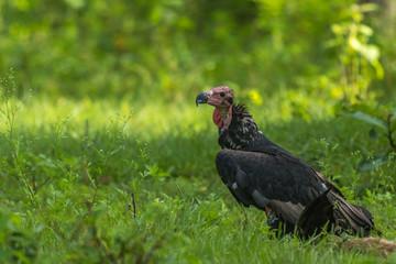 Red Headed Vulture From Nagarhole National Park, Karnataka, India