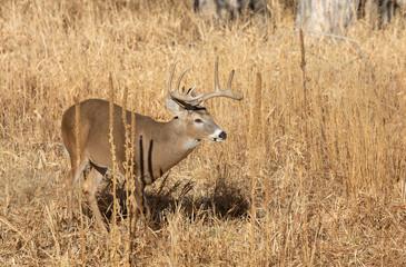 Wall Murals Deer Buck Whitetail deer in Colorado During the Rut in Autumn