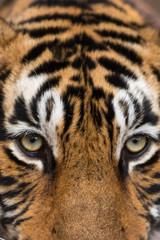 Eyes of Tiger From Ranthambore Rajasthan India