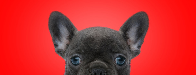 Papiers peints Bouledogue français french bulldog dog with black fur posing shy at camera