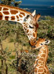 close up of mother giraffe kissing baby giraffe in Africa