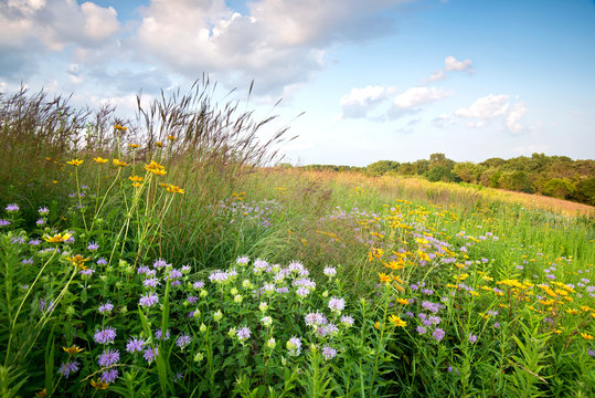Sunset light on native grasses wildflowers in a Midwest prairie.