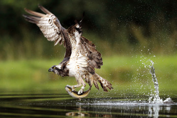 Osprey fishing on Scottish loch Fotomurales
