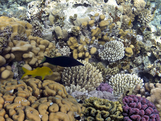 Fototapete - Photo of coral garden with fishes. Red Sea.