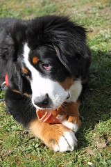 Cute bernese mountain dog puppy chewing a pig ear