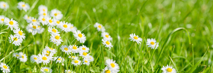 Photo sur Aluminium Marguerites flowers on field with copy space at springtime
