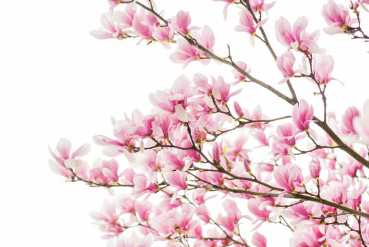 Happy spring day. magnolia blooming tree., natural floral background. beautiful spring flowers. magnolia tree flower. new life beginning. nature growth and waking up. womens day. mothers day holiday