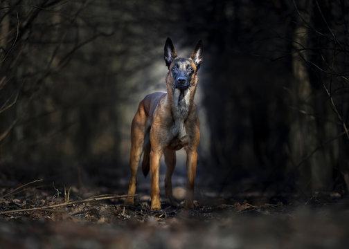 Belgian shepherd malinois portrait - dark forest backgroung