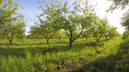 壁紙(ウォールミューラル) - Fantastic apple orchard is illuminated by sunlight.