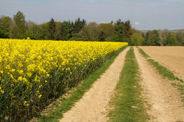 Canvas Prints Culture walking path along a field with the yellow coleseed and a forest in the background