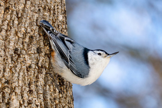 White-breasted Nuthatch  Climbing Down a Tree