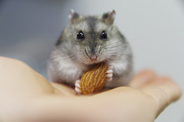A small hamster eats an almond close up