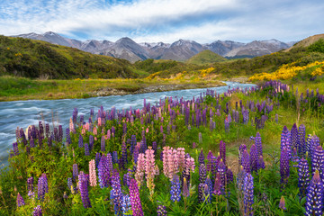 Keuken foto achterwand Nieuw Zeeland Lupins along the edge of mountain stream with mountains in the background