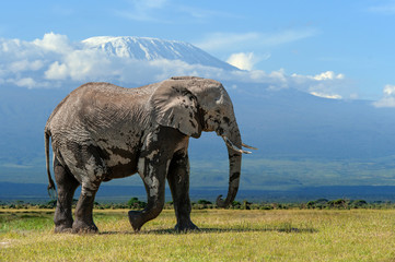 Elephant with a snow covered Mount Kilimanjaro in the background Wall mural