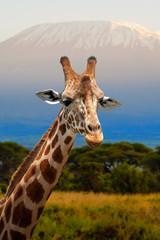 Wall Mural - Giraffe in front of Kilimanjaro mountain, Amboseli national park Kenya