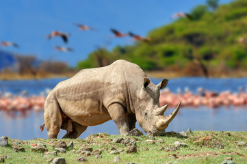 Rhinoceros on a background of pink flamingos in Nakuru National Park