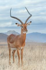 Wall Mural - Impala in savanna. National Reserved. South Africa, Kenya