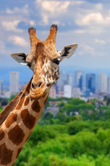 Wall Mural - Panoramic view from a lonely giraffe with the city of on the background