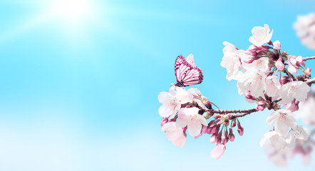 Wall Mural - Sakura flowers and butterfly on blue sky background
