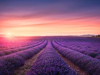 Zelfklevend Fotobehang Lavendel Lavender flower blooming fields endless rows at sunset. Valensole provence