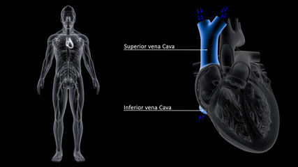 superior vena cava and inferior vena cava