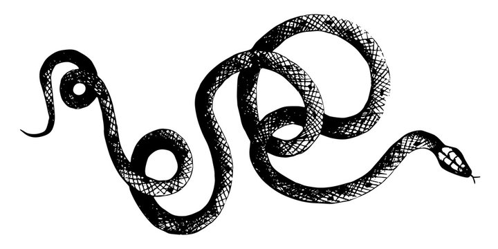 vector  snakes pencil drawing, vintage style graphic black and white, viper, python illustration