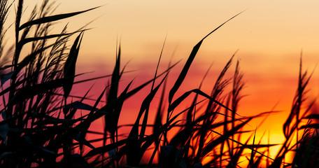 Printed kitchen splashbacks Beige Silhouette of bulrush on sunset background