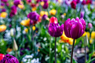 Multicolored tulips bloom in the garden during the first warm days of spring