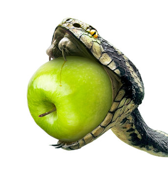 RW Snake swallows a green apple on a white background