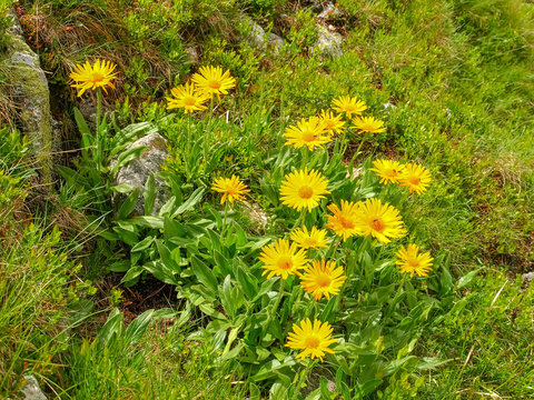 Group of flowering Arnica montana on the mountain slope