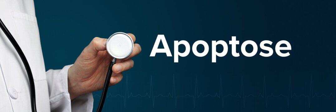 Apoptose. Arzt im Kittel hält Stethoskop. Das Wort Apoptose steht daneben. Symbol für Medizin, Krankheit, Gesundheit