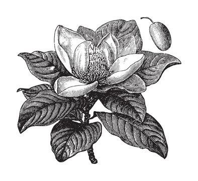 Southern magnolia or bull bay (Magnolia grandiflora) / vintage illustration from Brockhaus Konversations-Lexikon 1908
