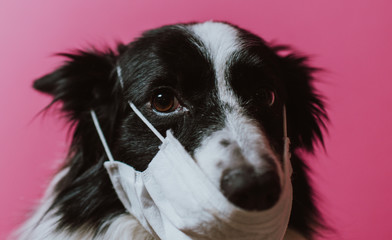 Stores à enrouleur Inde Border collie dog with medical mask against virus. Concept about animals and coronavirus covid19