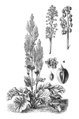 Chinese rhubarb (Rheum officinale) / vintage illustration from Brockhaus Konversations-Lexikon 1908
