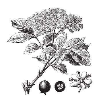 Elderberry  (Sambucus nigra) / vintage illustration from Brockhaus Konversations-Lexikon 1908