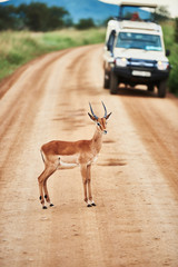 Papiers peints Antilope Young antelope standing on road