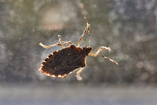Stink bug on a window glass surface in sunlight