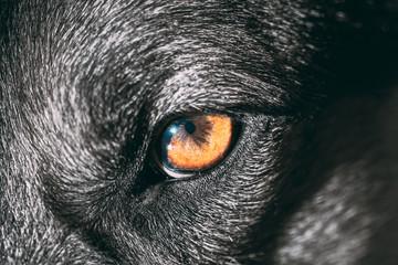 Close Up Eye Pupil Of Black Dog. Dogs Eye