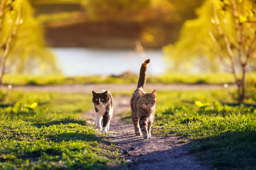 Foto op Plexiglas Kat two cats run across a green meadow in may Sunny warm day